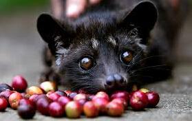 猫屎咖啡, 咖啡培训, 咖啡种类及特点