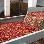 咖啡教学, 咖啡豆处理法, 咖啡, 水洗法, 咖啡豆